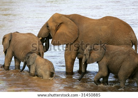 Elephants Crossing river in Samburu, Kenya Africa