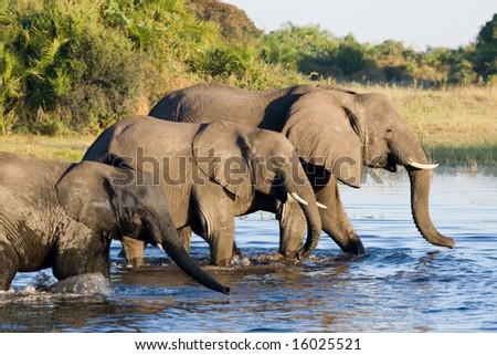 Elephants crossing water (Loxodonta africana) - stock photo