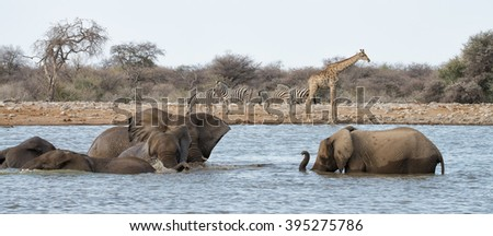 Elephants drinking and bathing at a waterhole with zebras and giraffe in the background in Etosha National Park, Namibia - stock photo