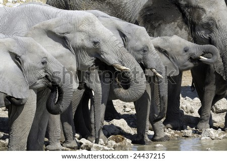 elephants drinking  at a waterhole.