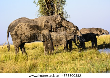 Elephants drinking on the shores of the Chobe river