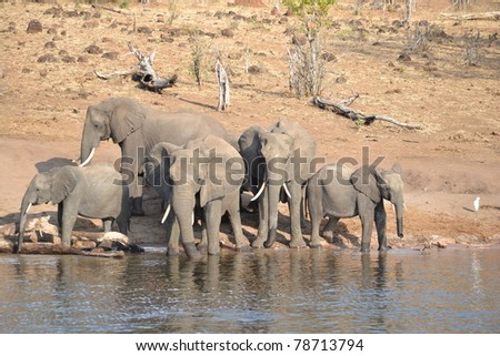 Elephants getting a drink from the Chobe River