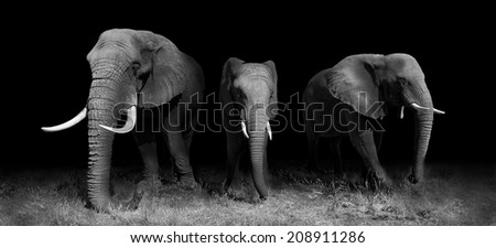 Elephants in black and white - stock photo