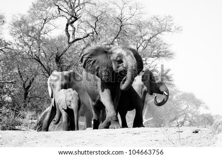 Elephants in defensive formation. - stock photo