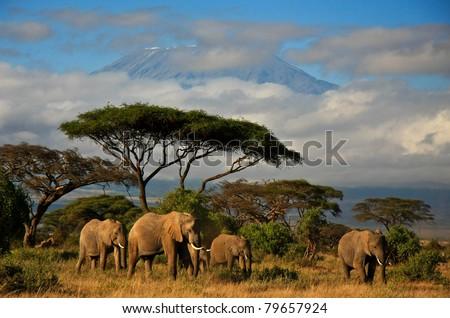 Elephants in front of Mt. Kilimanjaro, Amboseli, Kenya - stock photo