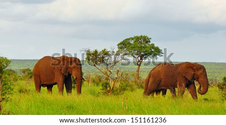 Elephants in Kruger National Park South Africa in Early Morning - stock photo
