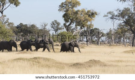 Elephants  in Moremi National park Botswana