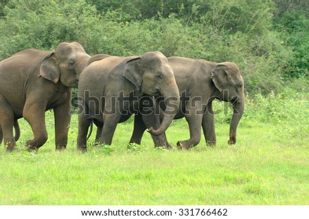 Elephants in National Park of Sri Lanka - stock photo