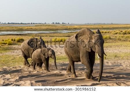 Elephants in the Chobe National Park, Botswana, Africa - stock photo