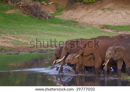Elephants in water - stock photo
