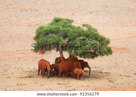 Elephants (Loxodonta africana) under a tree
