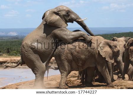 Elephants mating at the waterhole - stock photo