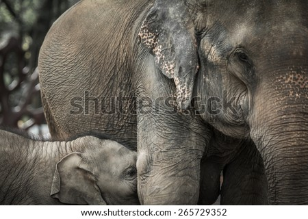 Elephants mother breast feeding her baby
