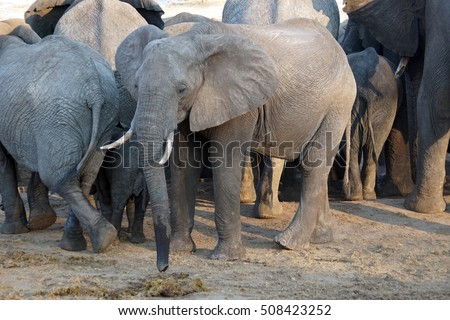 Elephants near a watering hole at a lodge in Botswana, during the dry season