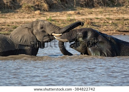 elephants playing in a lake at kruger national park - stock photo