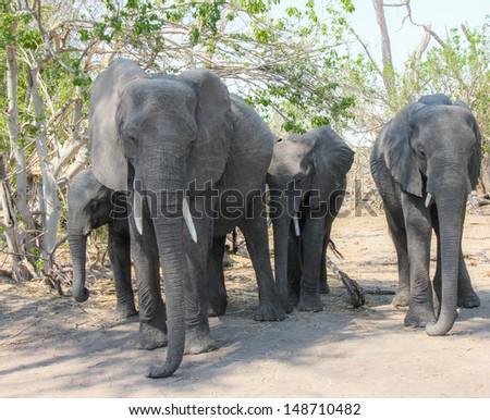 Elephants  walking in chobe park, Botswana - stock photo