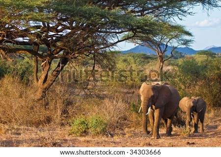 Elephants walking in the bush of africa at sunset - stock photo