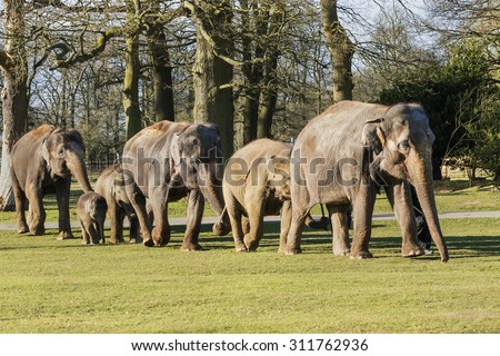 """Elephants walking together in line. A lovely shot of a group of elephants as they walk along in line """"tail in trunk"""". - stock photo"""