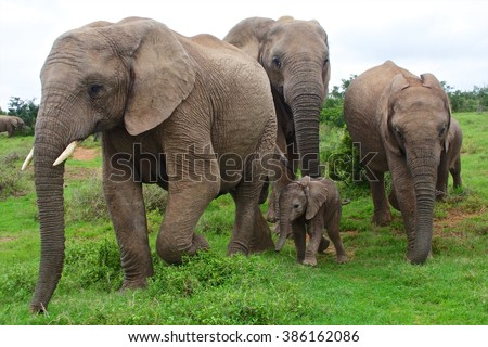 elephants with a baby south africa at addo elephant park - stock photo