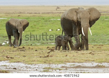 Elephants with  calf  covered by mud on their way back  from  feeding in swamps, Kenya
