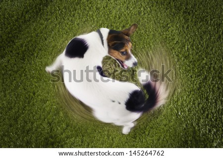 Elevated view of Jack Russell terrier chasing tail view on grass - stock photo