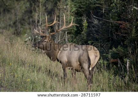 Elk antlers glowing in sunlight - stock photo