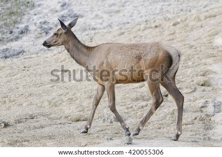 Elk at Mammoth Hot Springs, Yellowstone National Park, Wyoming - stock photo