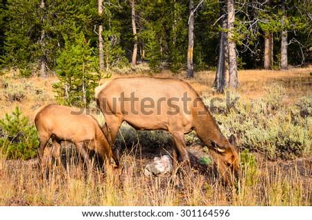 Elk at Yellowstone National Park - stock photo
