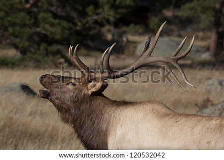 Elk bugling in Rocky Mountain National Park