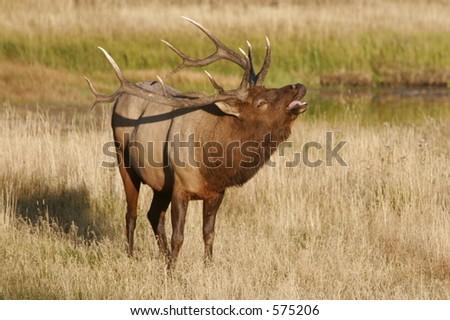Elk Calling - stock photo