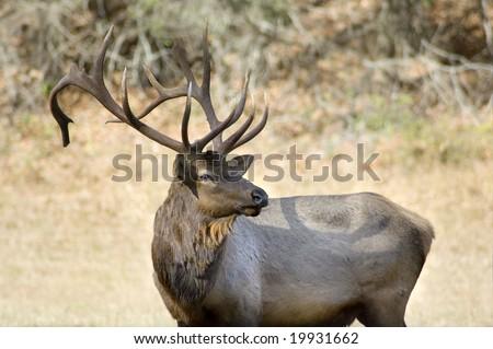 Elk, Cataloochee Valley, Great Smoky Mountains National Park, North Carolina - stock photo