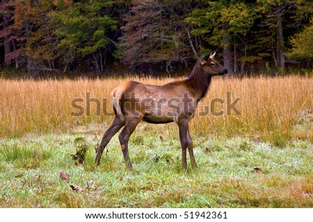 Elk (Cervus canadensis) grazing in Cataloochee Valley, Great Smoky Mountain National Park in North Carolina.