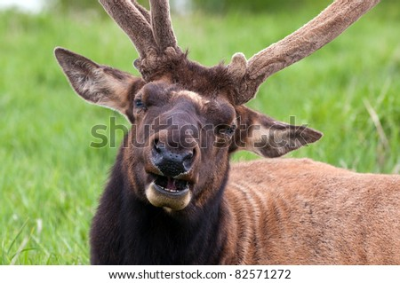 Elk Chewing His Cud in Grasslands - stock photo