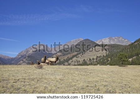 Elk Herd in Scenic Mountain Landscape - stock photo