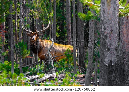 Elk in the Jungle  in Yellowstone National Park - stock photo