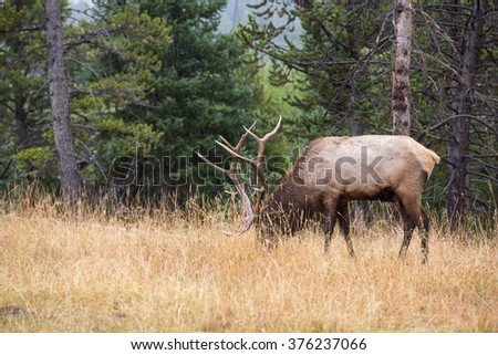 Elk in Yellowstone National Park. - stock photo