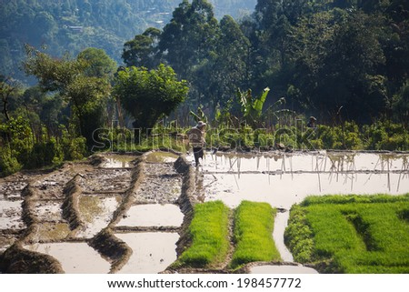 ELLA, SRI LANKA - MARCH 2, 2014: Worker in paddy field. As well as tea, Sri Lanka is also an important rice producer.