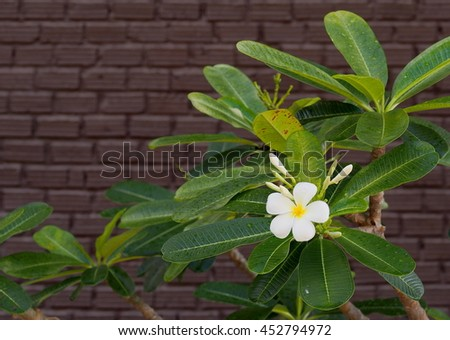 ellow white flowers of Frangipani, Plumeria, Templetree exotic aroma smell BALI style spa flowers on a sunny day with dark color painted bricks wall background - stock photo