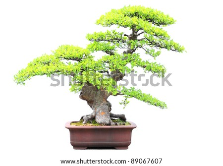 Elm bonsai isolated on white background