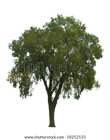 Elm tree isolated on white background - stock photo