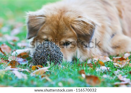 Elo dog is surprised to find a prickly hedgehog in the meadow - stock photo
