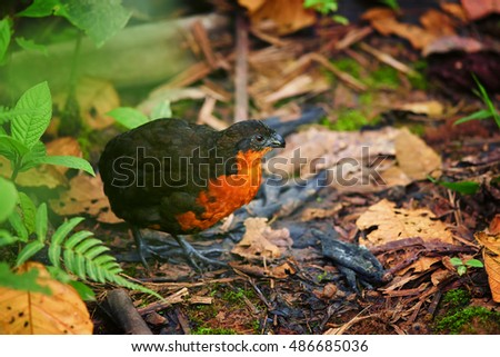 Elusive, rare bird Odontophorus melanonotus,  Dark-backed Wood-quail  in typical habitat of ecuadorian cloud forest. West Andes, Ecuador, South America.