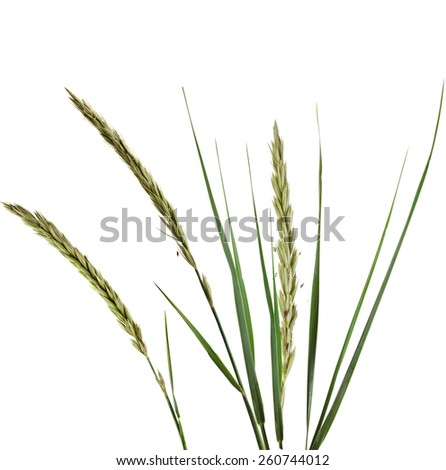 ELYMUS LEYMUS ARENARIUS Plant Grass Isolated on white background - stock photo