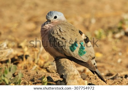 Emerald Spotted Dove - African Wild Bird Background - Green Spotted Doves with iridescent