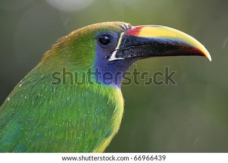 Emerald toucanet (Aulacorhynchus prasinus) in the rain, Costa Rica - stock photo
