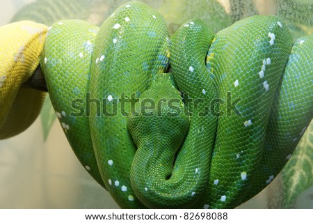 Emerald tree boa closeup, isolated on white