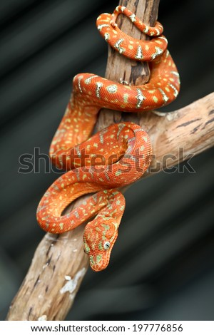 Emerald tree boa snake - stock photo