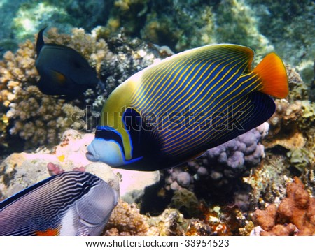 Emperor angelfish and reef - stock photo