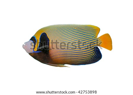 Emperor angelfish isolated - stock photo