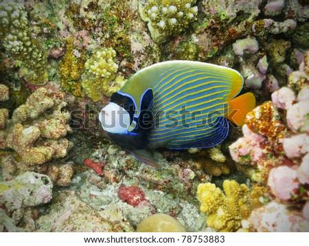 Emperor Angelfish watching you - stock photo